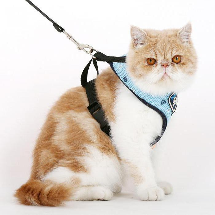 одной теорий, шлейка для кошек как одеть в картинках авокадо крабовыми
