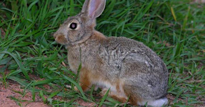 как разделывать кролика