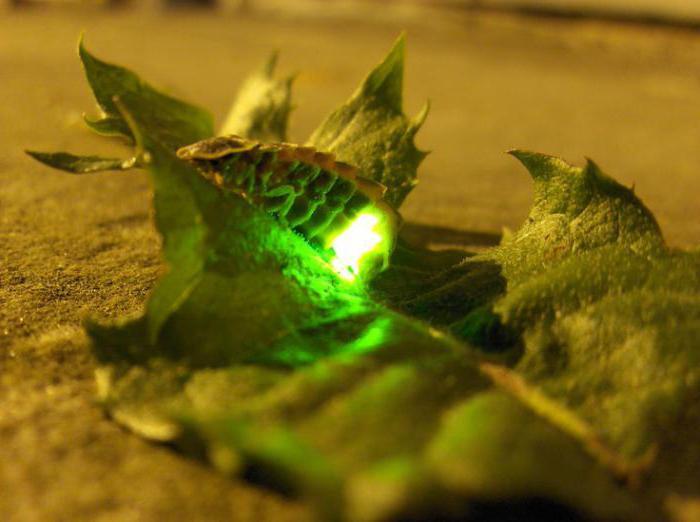 как выглядит личинка светлячка