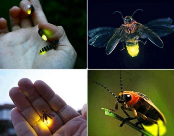 почему светлячки светятся