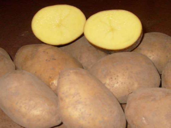 potato variety breeze