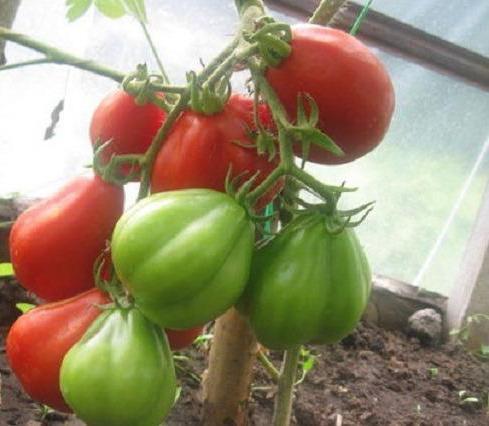 tomato puzata hut variety description photo reviews