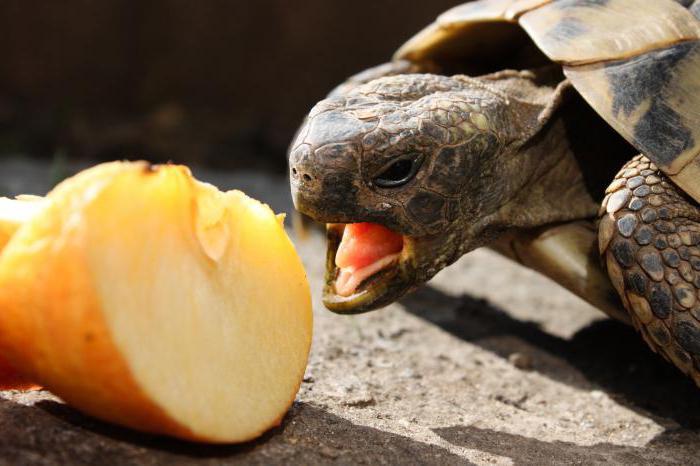 Как питаются черепахи в домашних условиях 605