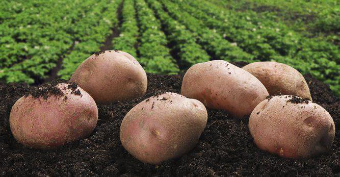 potato Lugovskoy size of tubers