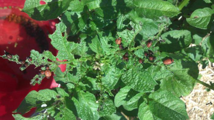 potato Lugovskoy disease and pests