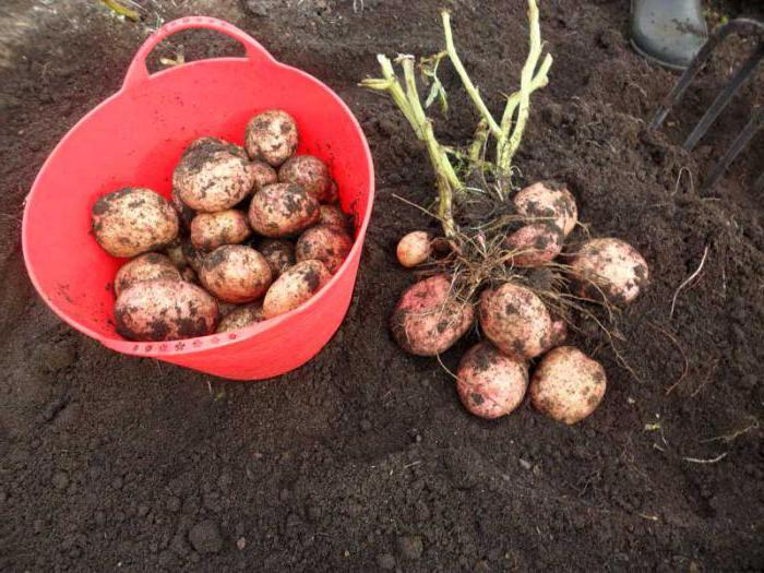 Siderata for potatoes in the fall