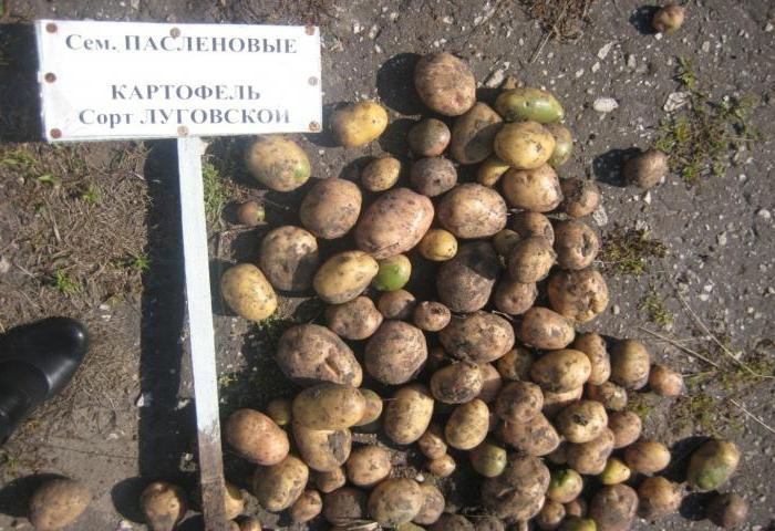 potato Lugovskoy variety description photo reviews