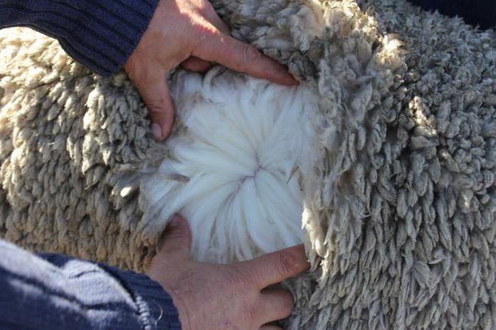 Какая самая распространенная порода овец в Австралии