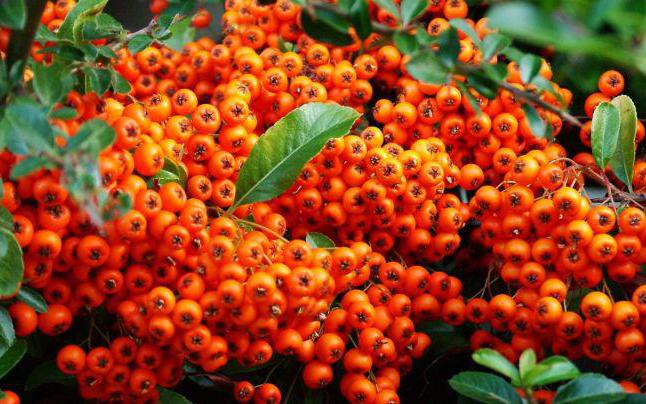 when to collect sea buckthorn