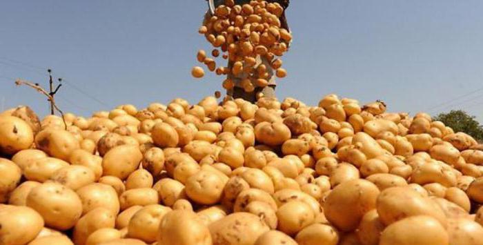 сорта картофеля в Белоруссии