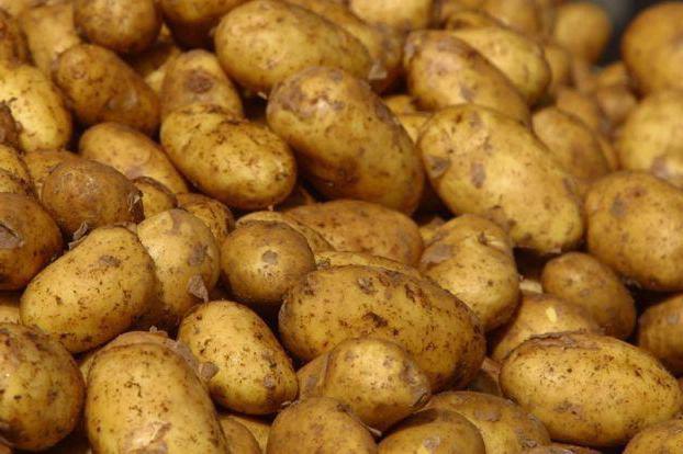 Лучшие сорта картофеля беларусь: посадка и уход