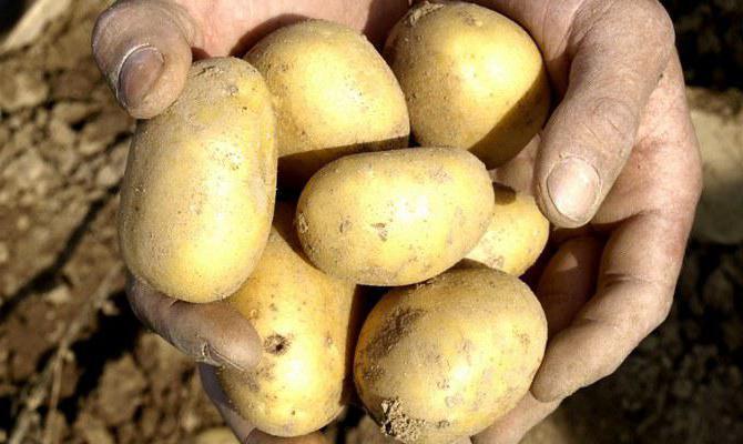 Белорусские сорта картофеля