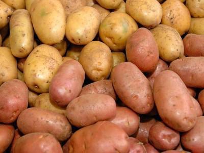 ранниие сорта картофеля в Белоруссии