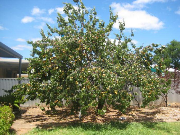 Сорта малины кусты с ягодами фото краснодаре