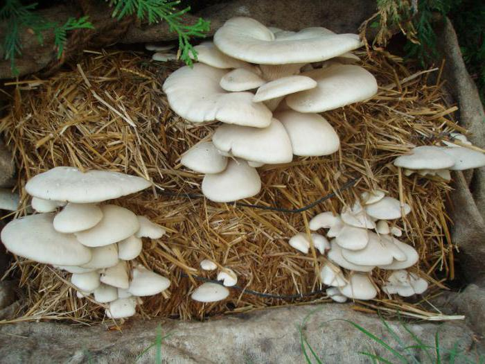 how to grow mushrooms in the basement