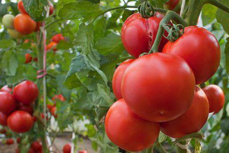 Томат Интуиция: отзывы, фото, урожайность, характеристика