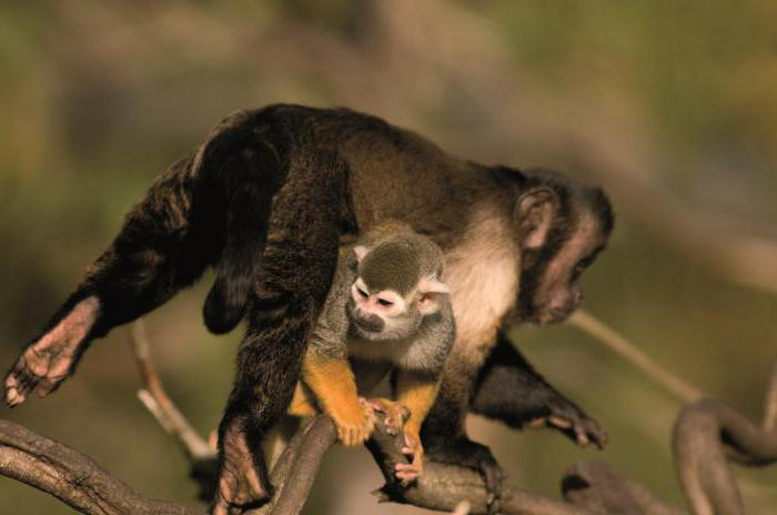 brown black-headed or crested capuchin