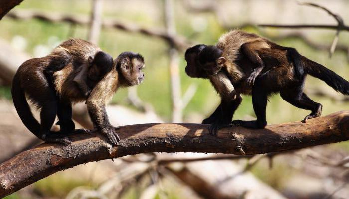 description of the monkey brown capuchin