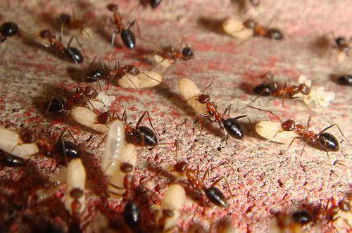 oil of ant eggs