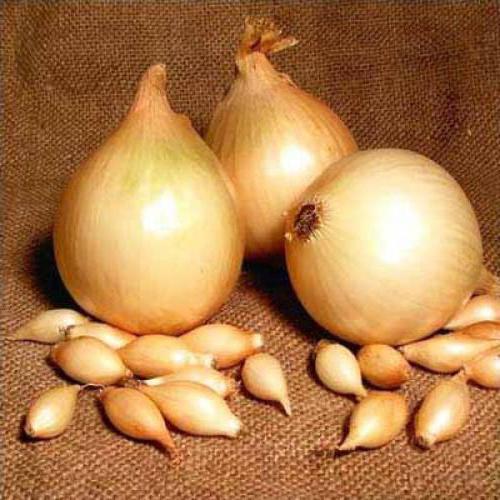 onion variety Centurion