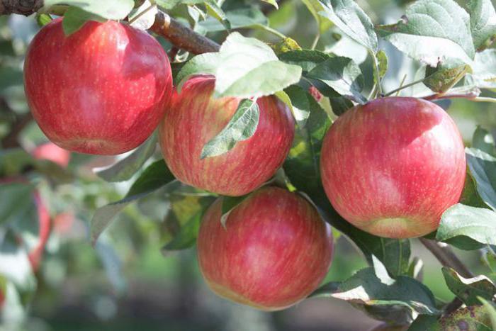 Схема посадки яблонь на участке
