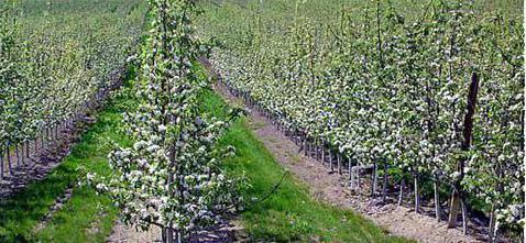 расстояние между яблонями при посадке сада