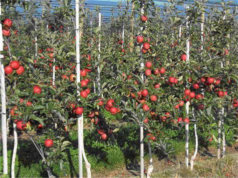 какое расстояние между яблонями при посадке