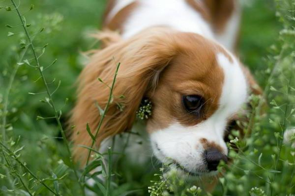 why does a dog eat grass and then vomits