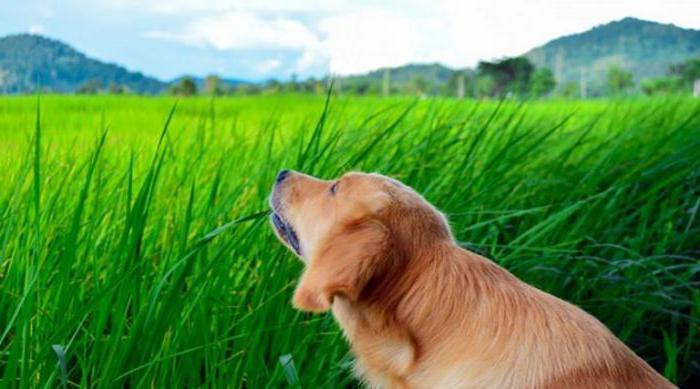 why dogs eat grass answers