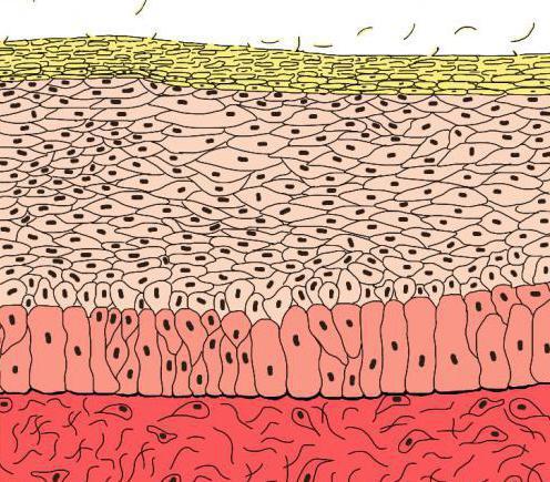 skin epidermis layers