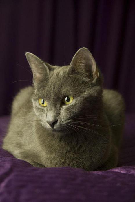 кошки породы русская голубая характер