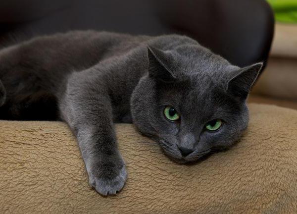 русская голубая кошка описание породы и характера