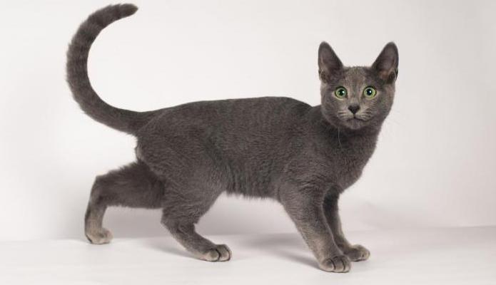 русская голубая кошка фото характер