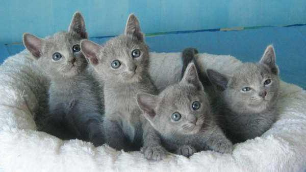 русская голубая кошка характер отзывы