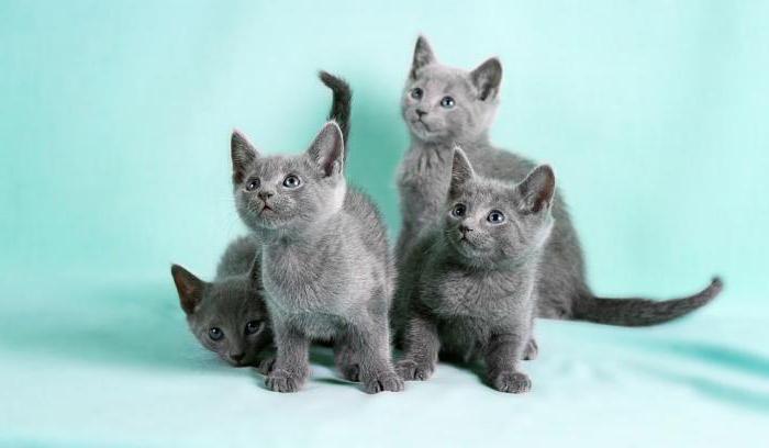 русская голубая кошка характер и поведение