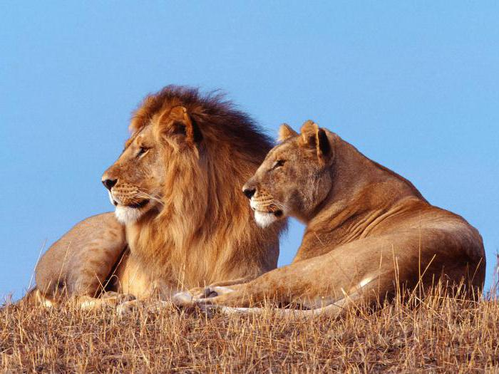 why lion is king of beasts