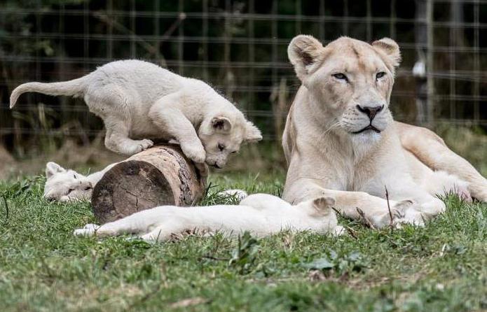 lion description