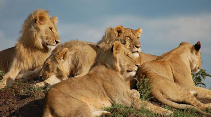 lion hunt for large animals