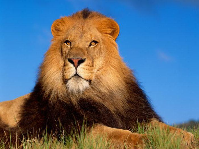 how many lions live