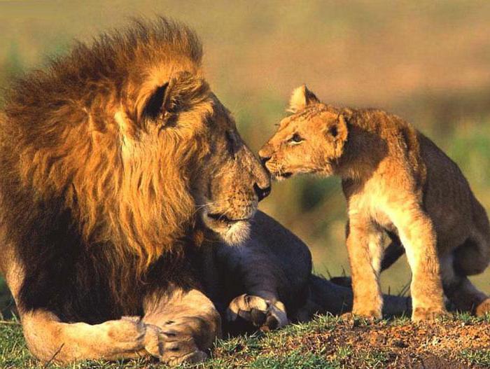 hybrids of lions