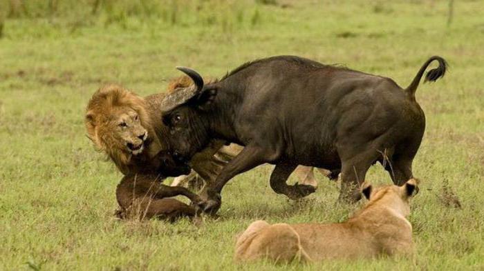 habitats of lions