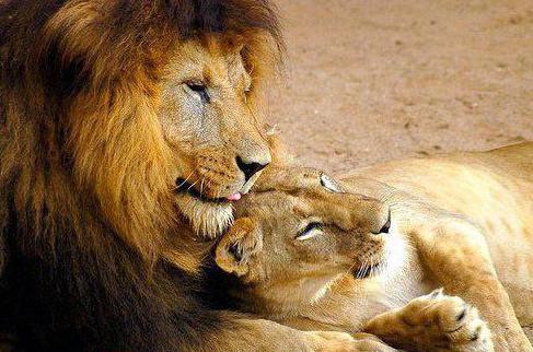 lion lifestyle