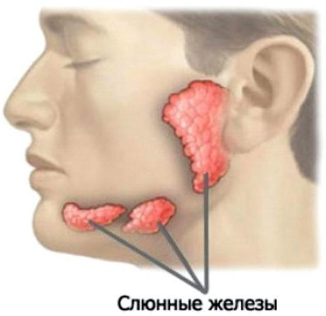 where is the salivary gland