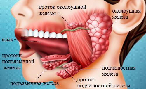 where are the salivary glands