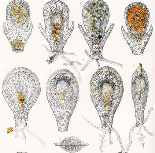 shell amoebas