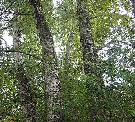 The most common tree in Russia is birch