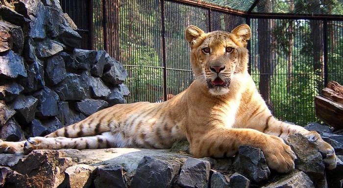 тигры Новосибирского зоопарка