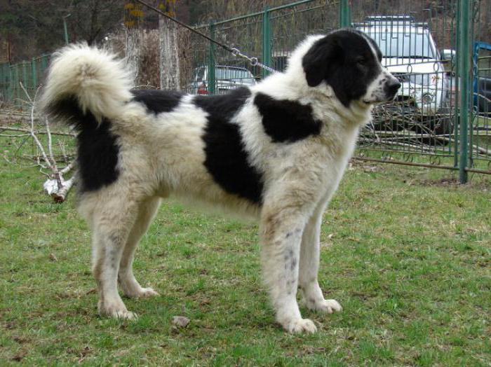 Bukovinian Shepherd Dog
