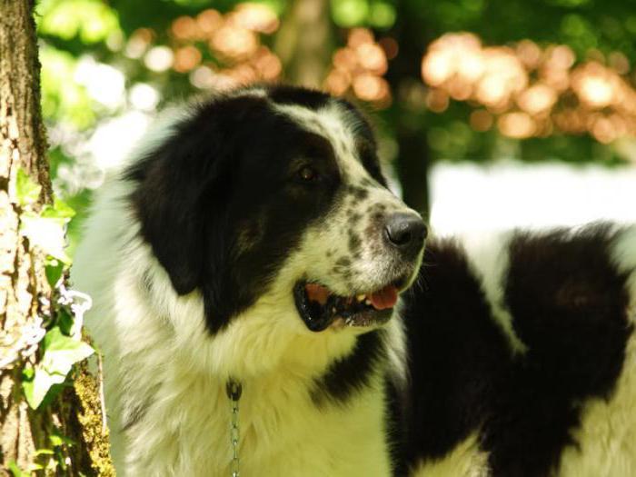 Bukovina Sheepdog content and care