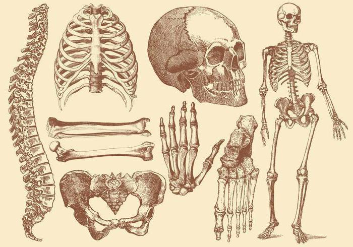 Все кости человека в картинках